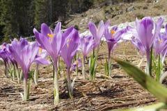 O açafrão floresce - no prado da mola da montanha Foto de Stock