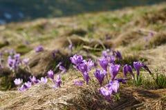 O açafrão floresce no vale da montanha no verão Fotografia de Stock Royalty Free