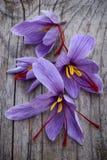 O açafrão floresce (o açafrão sativus) Imagem de Stock Royalty Free