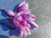 O açafrão floresce o açafrão sativus Imagens de Stock