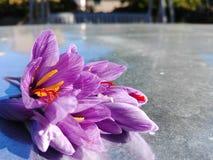 O açafrão floresce o açafrão sativus Fotografia de Stock Royalty Free