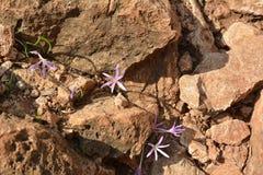 O açafrão lilás floresce com os estames amarelos que escondem entre rochas nas rochas em Golan Heights Foto de Stock Royalty Free