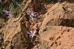 O açafrão lilás floresce com os estames amarelos que escondem entre rochas nas rochas em Golan Heights Fotos de Stock Royalty Free