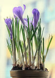 O açafrão malva violeta floresce em um vaso de flores, fundo do bokeh Fotografia de Stock