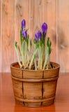 O açafrão malva violeta floresce em um vaso de flores rústico do vintage, woode Imagem de Stock Royalty Free