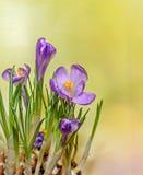 O açafrão malva violeta floresce a planta verde, fundo amarelo do bokeh Imagem de Stock Royalty Free