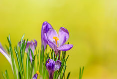 O açafrão malva violeta floresce a planta verde, fundo amarelo do bokeh Imagem de Stock