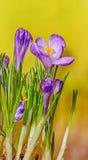 O açafrão malva violeta floresce a planta verde, fundo amarelo do bokeh Fotografia de Stock