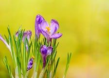 O açafrão malva violeta floresce a planta verde, fundo amarelo do bokeh Imagens de Stock