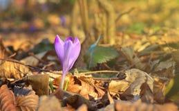 O açafrão na floresta, primeira mola floresce Fotografia de Stock