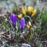 O açafrão, os açafrões plurais ou o croci são um gênero de plantas de florescência na família de íris fotografia de stock