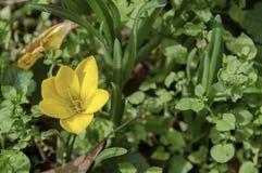 O açafrão outonal amarelo brilhante floresce no jardim, (o açafrão sativus) Foto de Stock