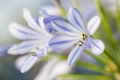 O açafrão pequeno delicado gosta da flor de florescência no branco e no lilás Imagem de Stock Royalty Free