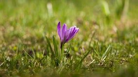O açafrão roxo bonito floresce em um fundo natural na mola Fotos de Stock Royalty Free