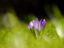 O açafrão roxo bonito floresce em um fundo natural na mola Fotos de Stock