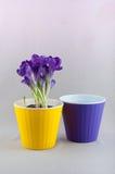 O açafrão roxo cresce no potenciômetro amarelo e esvazia o vaso de flores violeta Foto de Stock