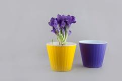 O açafrão roxo cresce no potenciômetro e no vaso de flores vazio Imagem de Stock Royalty Free