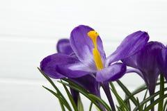 O açafrão roxo da flor nas folhas do potenciômetro é fundo de madeira branco do estame verde do pistilo das folhas Fotografia de Stock