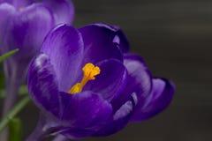 O açafrão roxo da flor nas folhas do potenciômetro é fundo de madeira do preto verde do estame do pistilo das folhas Fotos de Stock
