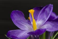 O açafrão roxo da flor nas folhas do potenciômetro é fundo de madeira do preto verde do estame do pistilo das folhas Imagem de Stock Royalty Free