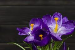 O açafrão roxo da flor nas folhas do potenciômetro é fundo de madeira do preto verde do estame do pistilo das folhas Fotografia de Stock Royalty Free