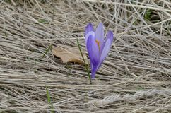 O açafrão roxo da mola bonita floresce na clareira, montanha de Plana Fotografia de Stock Royalty Free