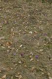 O açafrão roxo da mola bonita floresce na clareira, montanha de Plana Fotos de Stock Royalty Free