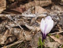 O açafrão roxo de florescência cresce no macro seco das folhas, DOF raso, foco seletivo Fotografia de Stock Royalty Free