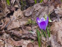 O açafrão roxo de florescência cresce no macro seco das folhas, foco seletivo Fotografia de Stock