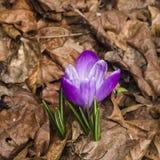 O açafrão roxo de florescência cresce no macro seco das folhas, foco seletivo Imagens de Stock Royalty Free