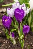 O açafrão roxo de florescência floresce na mola adiantada Imagem de Stock