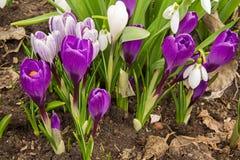 O açafrão roxo de florescência floresce na mola adiantada Imagens de Stock