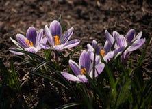 O açafrão roxo floresce em um dia de mola no jardim Fotografia de Stock Royalty Free