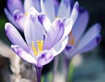 O açafrão roxo floresce na primavera o prado, filtro azul Fotos de Stock