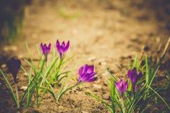 O açafrão roxo floresce retro Imagens de Stock Royalty Free