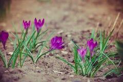 O açafrão roxo floresce retro Foto de Stock Royalty Free