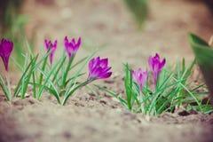 O açafrão roxo floresce retro Fotos de Stock Royalty Free