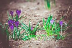 O açafrão roxo floresce retro Imagem de Stock Royalty Free