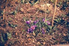 O açafrão roxo floresce retro Imagem de Stock