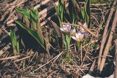 O açafrão roxo floresce retro Imagens de Stock