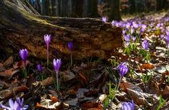 O açafrão roxo floresce sob o coto na floresta Fotos de Stock Royalty Free