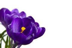 O açafrão roxo isolado da flor nas folhas do potenciômetro é fundo de madeira branco do estame verde do pistilo das folhas Fotografia de Stock Royalty Free