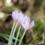 O açafrão Vernus, flores naturais encontrou no mato de um alpino Imagens de Stock
