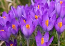 O açafrão violeta é uma das primeiras flores da mola como o backg da mola Fotografia de Stock