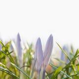 O açafrão violeta floresce com as folhas verdes no fundo branco Açafrão azul macio das pétalas, foco macio, vista à terra Imagens de Stock