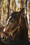 O açaime é terno marrom do cavalo Imagem de Stock Royalty Free