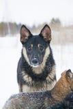 O açaime do cão Imagens de Stock