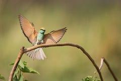 O abelha-comedor masculino estica as asas largamente para aterrar fotografia de stock