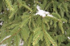 o abeto é uma planta conífera um o fim acima de uma árvore verde um ornamento do fundo o parque a rua foto de stock