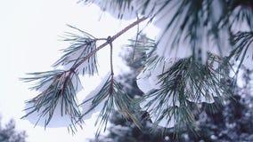 O abeto coberto de neve bonito ramifica balançando no close-up do vento no fundo de uma floresta e de um céu do inverno vídeos de arquivo